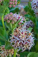 Milkweed flowering at Makoshika State Park in Glendive, Montana, USA