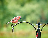 Northern Cardinal. Image taken with a Nikon D850 camera and 200 mm f/2 VR lens