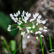 Flowering Wild Allium (Garlic) plant. Photographed in Israel in March