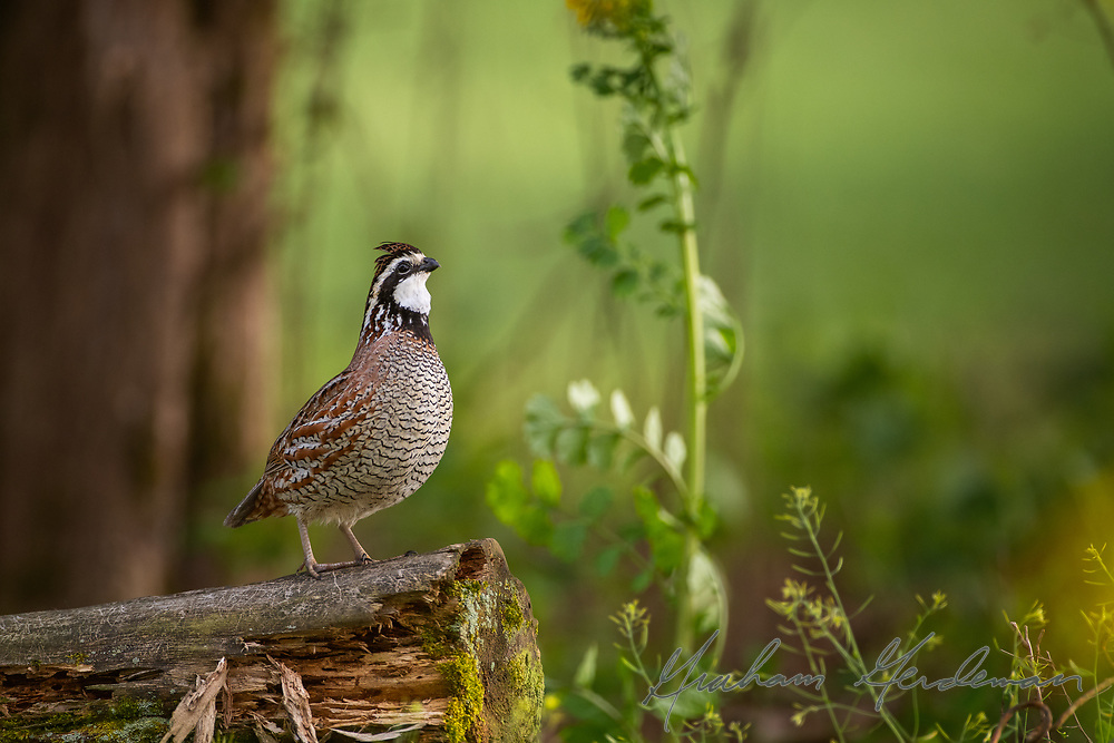 A male Northern Bobwhite sings from a perch in Middle Tennessee.