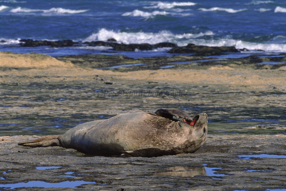 Southern Elephant Seal<br />Mirounga leonina<br />Peninsula Valdes, Patagonia. ARGENTINA. South America<br />RANGE: Southern Oceans