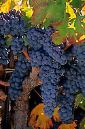 Grapes on vine in fall, Villa Toscana Winery, near Plymouth, Shenandoah Valley, Amador County, California