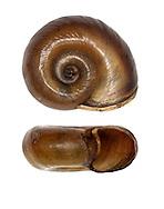 Great Ramshorn - Planorbis corneus