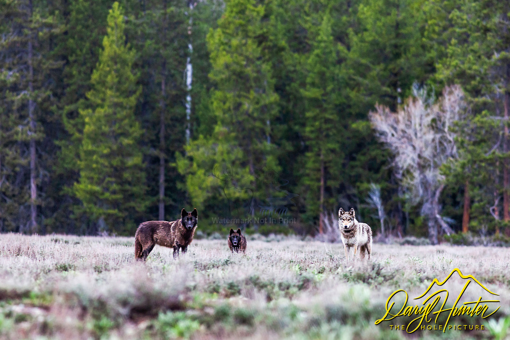 """Three wolves of the Pacific Creek Pack that roams Grand Teton National Park. They are  sizing up photographer pondering upon the taste. Moments before this, these wolves were hunting and chasing a cow elk but after seeing me sitting in the sagebrush they though they might have found an easier meal.<br /> <br /> Read Story: """"Hungry Wolves""""<br /> http://www.the-hole-picture.com/articles/Hungry-Wolves.html"""