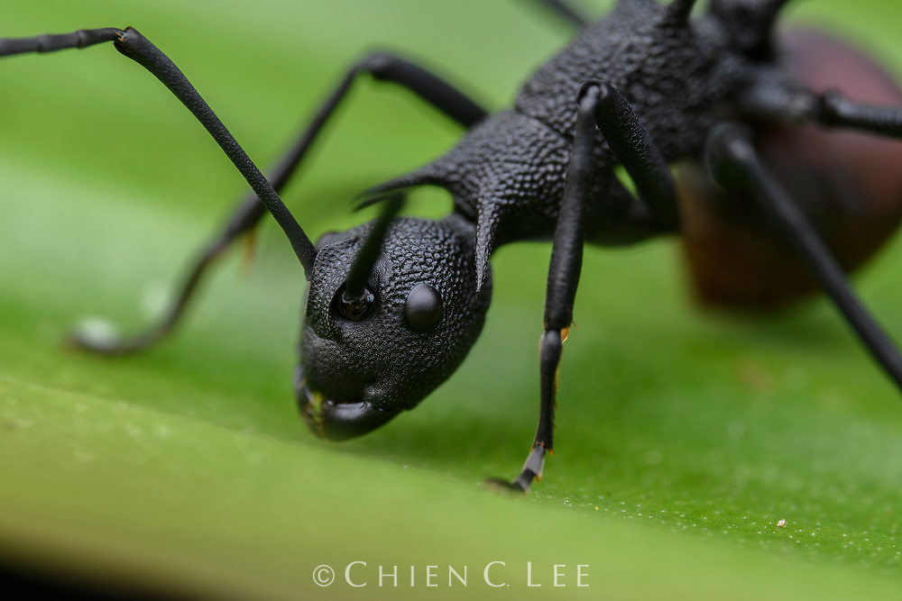 Spiny ant (Polyrhachis armata). Sarawak, Malaysia (Borneo).