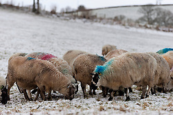 © Licensed to London News Pictures. 13/01/2017. Llanddewi'r Cwm , Powys, Wales, UK. Ewes eat feed brought by the farmer in Llanddewi'r Cwm in Powys, Wales, UK. after more snow fell last night in Mid Wales.<br /> Photo credit: Graham M. Lawrence/LNP