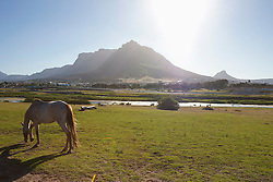 Side view of horse grazing on field, Table Mountain, South Africa, Cape Town