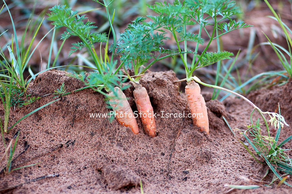 Fresh carrots in a field still partially embedded in the soil, Israel