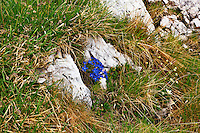 Gentian (gentiana verna)  - Europe, Italy, South Tyrol, Sexten Dolomites, Tre Cime - Noon - July 2009 - Mission Dolomites Tre Cime
