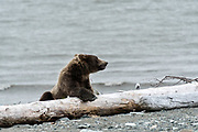 A brown bear sub-adult rests on driftwood logs along the beach at the McNeil River State Game Sanctuary on the Kenai Peninsula, Alaska. The remote site is accessed only with a special permit and is the world's largest seasonal population of brown bears in their natural environment.