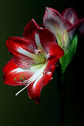 14 January 2007: A favorite indoor flower for winter gardener, the Amaryllis produces blooms similar to a lily.<br />
