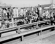 "ackroyd-08537-4. ""Portland Union Stockyards. 4-H Club Tour. September 5, 1958"""