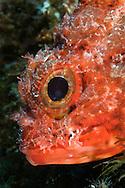 Scorpionfish, portrait, Scorpaena maderensis, Faiai, Azores, Portugal