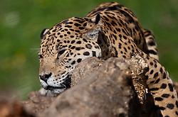 07.04.2011, Zoo, Salzburg, AUT, ZOO SALZBURG, im Bild ein Leopard liegt auf einem Baum in der Nachmittagssonne und beobachtet die Besucher // a leopard in a tree in the afternoon sun and watching the visitors pictured at Zoo Salzburg, Austria, 04/07/2011, EXPA Pictures © 2011, PhotoCredit: EXPA/ J. Feichter