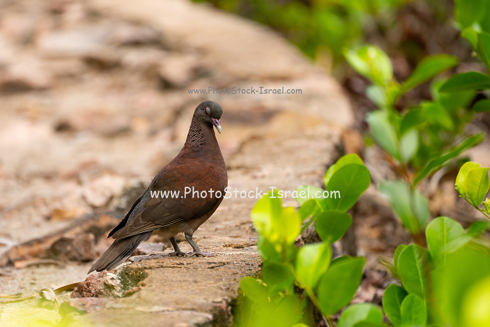 Madagascar Turtle Dove (Streptopelia picturata), on rocky forest floor on small island in The Seychelles