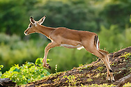 Impala fawn makes a leaping stride down the side of a hummock, with riverside forest in the background, Chobe National Park, Botswana, © David A. Ponton