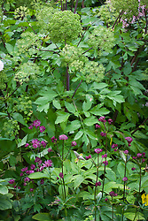Shady planting of Angelica archangelica and dark red astrantia