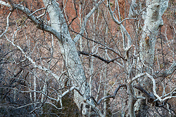 Arizona Sycamore trees (Platanus wrightii) in winter along Animas Creek, Ladder Ranch, west of Truth or Consequences, New Mexico, USA.