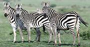 Three plains zebra (Equus quagga, formerly Equus burchellii) watch alertly as a vehicle passes.  Sinya Wildlife Management Area, Tanzania.