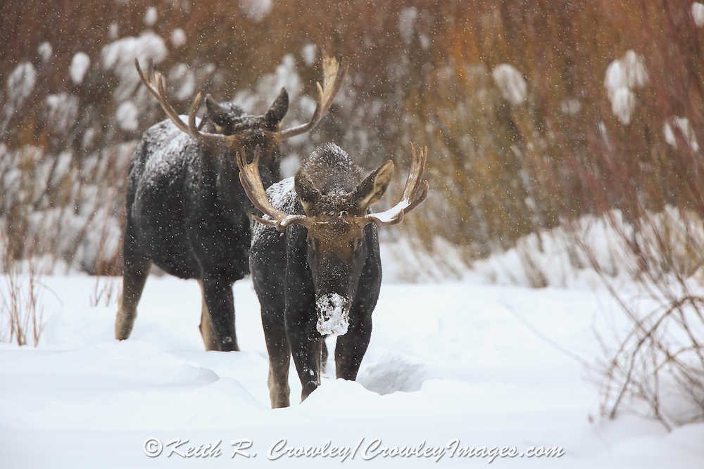 Bull Moose in Winter Habitat