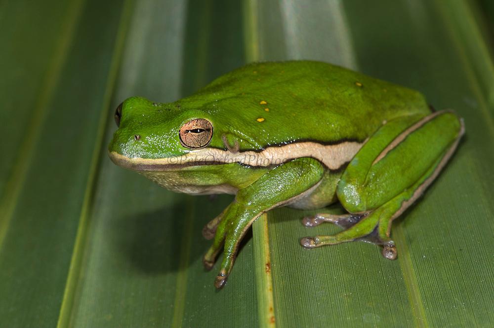 Green Tree Frog (Hyla cinerea)<br /> Little St Simon's Island, Barrier Islands, Georgia<br /> USA<br /> RANGE:  Near water in southeastern United States.