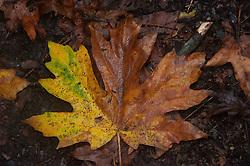 Wet Fall Maple Leaf, Stuart Island, Washington, US