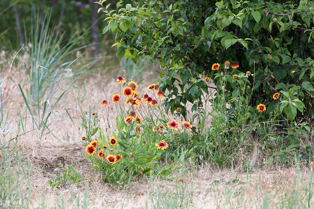 A Blanketflower Plant (Gaillardia aristata) growing in the field at Blackie Spit, near Crescent Beach in Surrey, British Columbia, Canada.  This part of Blackie Spit used to be farmland, and still has some leftover plants species such as the apple tree in the background here, and possibly these Gallardia.