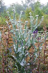 Onopordum acanthium - Scotch thistle with Atriplex hortensis in the cutting garden