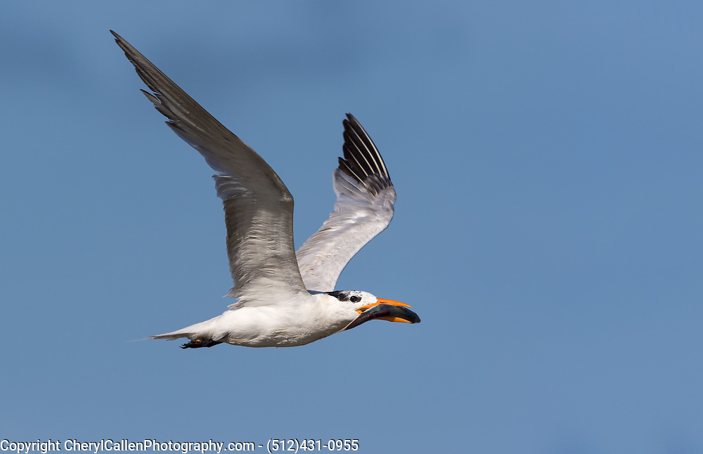 Royal Tern in flight with fish for its young