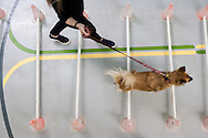 September 28th, 2011. Los Angeles, California. Canine rehab facility Two Hands Four Paws offers treatments like acupuncture, massage, and swim therapy for dogs. Pictured is Carly the Sheep Mix on the obstacle course..© JOHN CHAPPLE / www.johnchapple.com