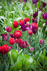 Tulips 'Antraciet', 'Burgundy', 'Ronaldo' and 'Tambour Maitre'