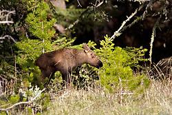 Moose Calf, Yellowstone National Park.