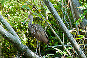Limpkin (Aramus guarauna) sitting on a tree branch along the Loxahatchee River in Jupiter, FL.