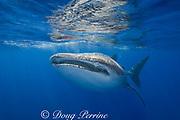 whale shark ( Rhincodon typus ), Kona Coast of Hawaii Island ( the Big Island ) Hawaiian Islands, USA ( Central Pacific Ocean )