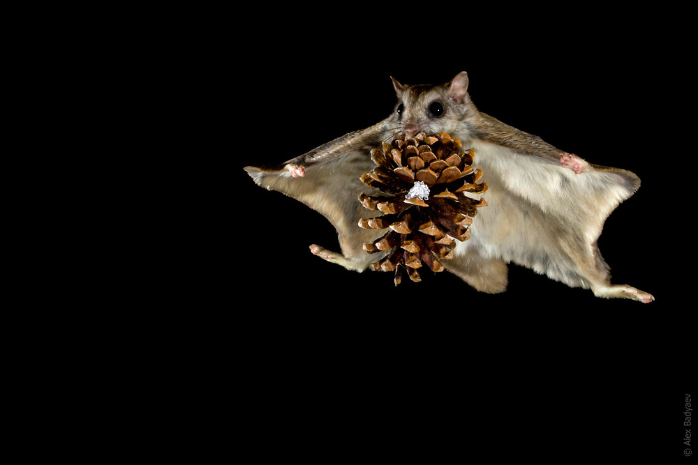 THE ESSENCE OF THE NORTHERN FLYING SQUIRREL   Overachiever male northern flying squirrel (Glaucomys sabrinus) moves a cone, half his weight, from one cache to another in the middle of night in winter forest near Seeley Lake, Montana. Several evolutionary innovations enable this species to generate significant lift even without powered flight. <br /> <br /> See Cirque de la Lune in PhotoStories for review of squirrels aerodynamic features.