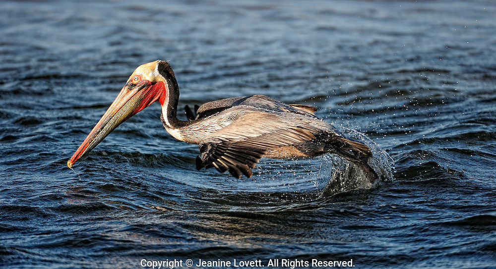 pelican takeoff from the water with a splash.