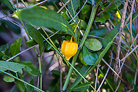 This interesting perennial native plant to the American Southeast is also a member of the nightshade family, and related to the tomatillo. When the fruit becomes ripe, the large berry is surrounded in a bright orange papery sheath called a calyx. These were found and photographed on Sanibel Island in Southwest Florida.