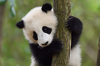 Giant Panda, Ailuropoda melanoleuca, Chengdu Panda Breeding Centre, Sichuan, China. Captive