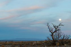 Tree and moon at dusk, Ladder Ranch, west of Truth or Consequences, New Mexico, USA.