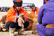 At a local camel fair, a competition to make rope from the fur of a Bactrian camel,  Gobi Desert, Mongolia