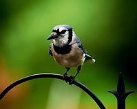Blue Jay at the Bird Feeder. Image taken with a Fuji X-T2 camera and 100-400 mm OIS telephoto zoom lens