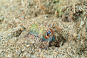 Hawaiian bobtail squid ( endemic ), Euprymna scolopes, camouflaged under sand at night, South Shore, Oahu, Hawaii, USA ( Central Pacific Ocean )