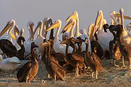 Rosapelikan (Pelecanus onocrotalus) bei der Sowa Pan im Nata Bird Sanctuary.