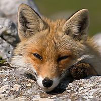Red fox, Vulpes vulpes, Pollino National park, Italy