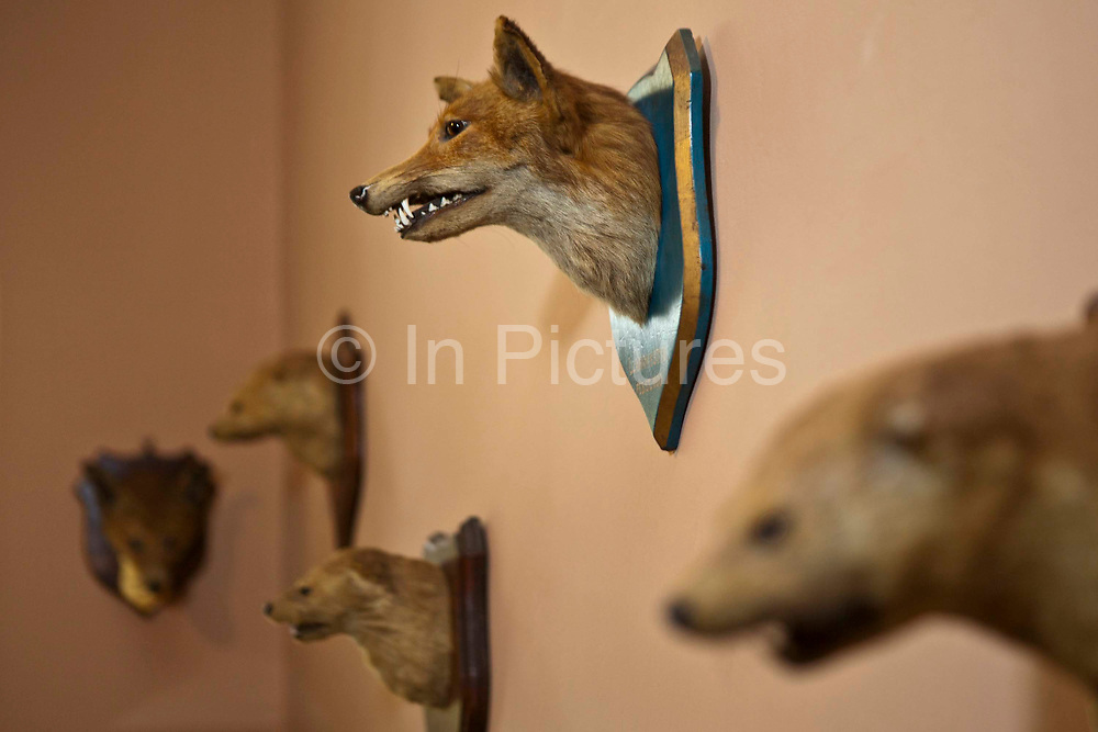 Stuffed animal heads from the late 19th Century. Llanerchaeron, Wales, UK. They are on display at the Llanerchaeron House, a building that was used by Victorian hunters for socializing and lodging. The building is now owned and preserved by the National Trust.
