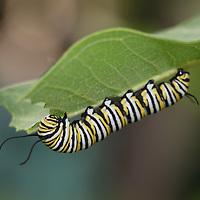 Monarch Butterfly Caterpiller