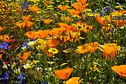 Californian poppy, Eschscholzia californica, Orange poppy's in flower in summer meadow. UK.