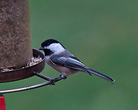 Black-capped Chickadee. Image taken with a Leica SL2 camera and 90-280 mm VR lens.