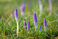 Crocus tommasinianus buds emerging through the grass in spring. Early crocus