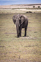Elephant in the Masai Mara, Kenya.